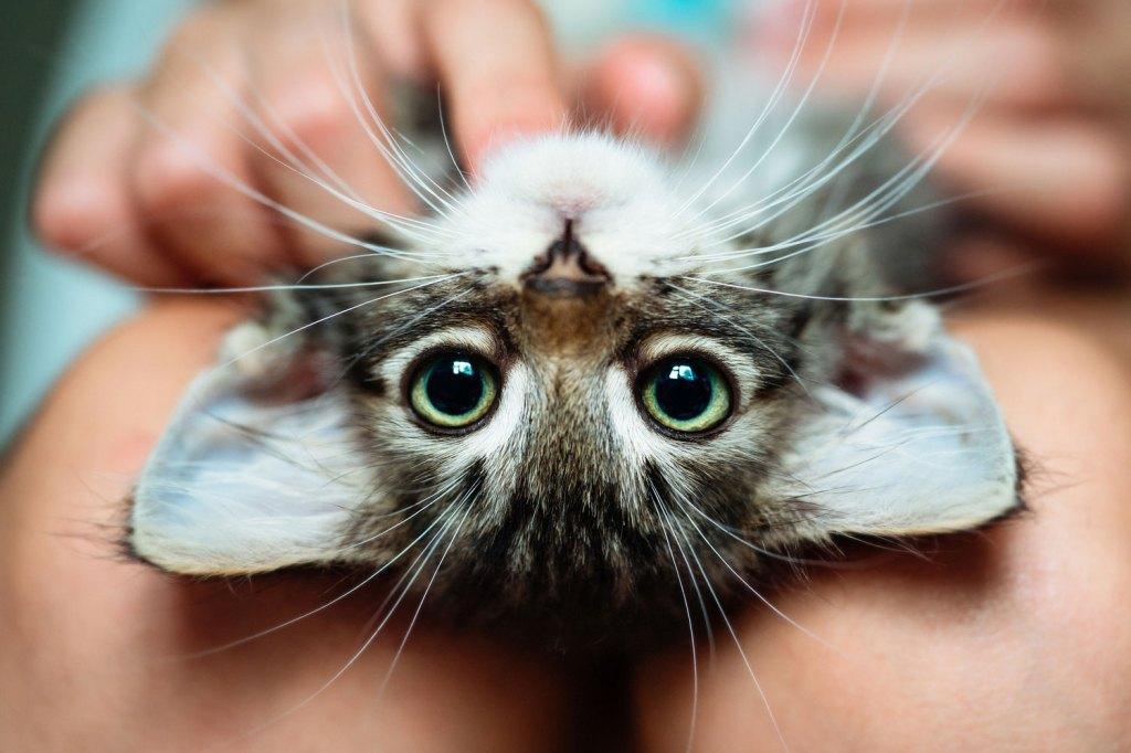 tête de chaton à l'envers