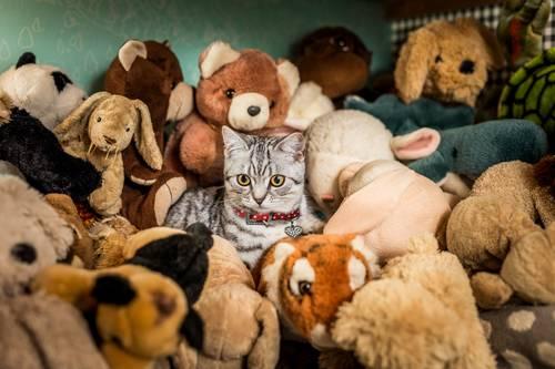 chat dans des peluches
