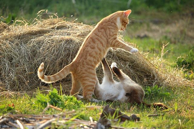 chat qui se bagarrent