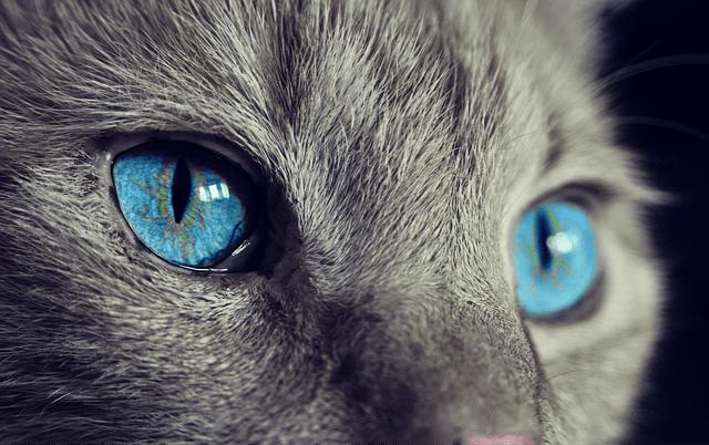 yeux bleus de chat