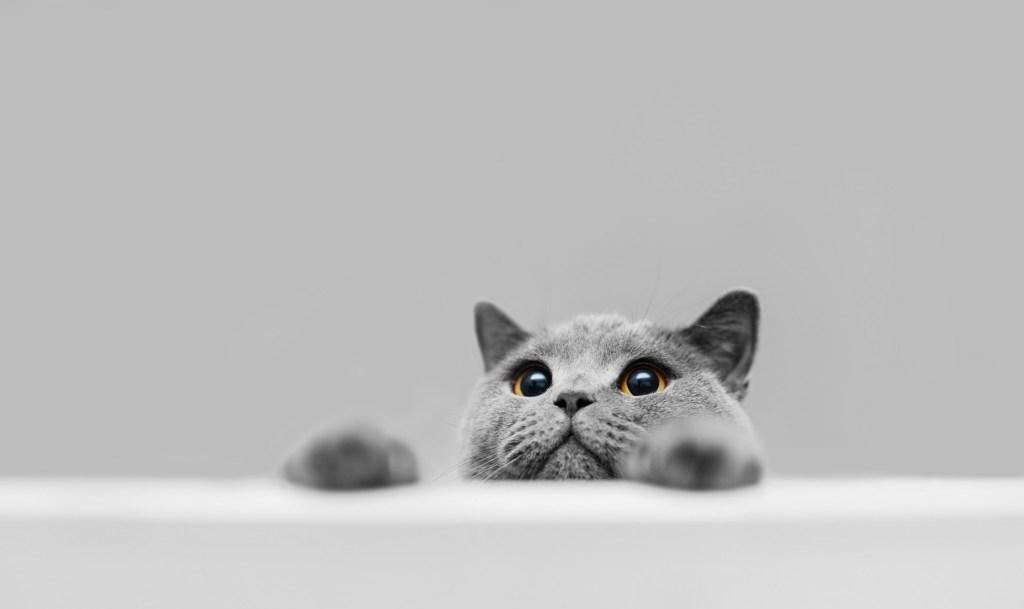 chat gris catizen