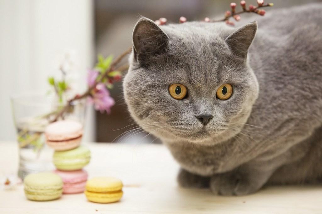 chat à côté de macarons