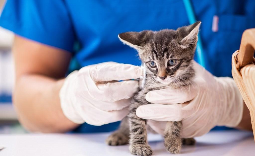 chaton examiné par le vétérinaire
