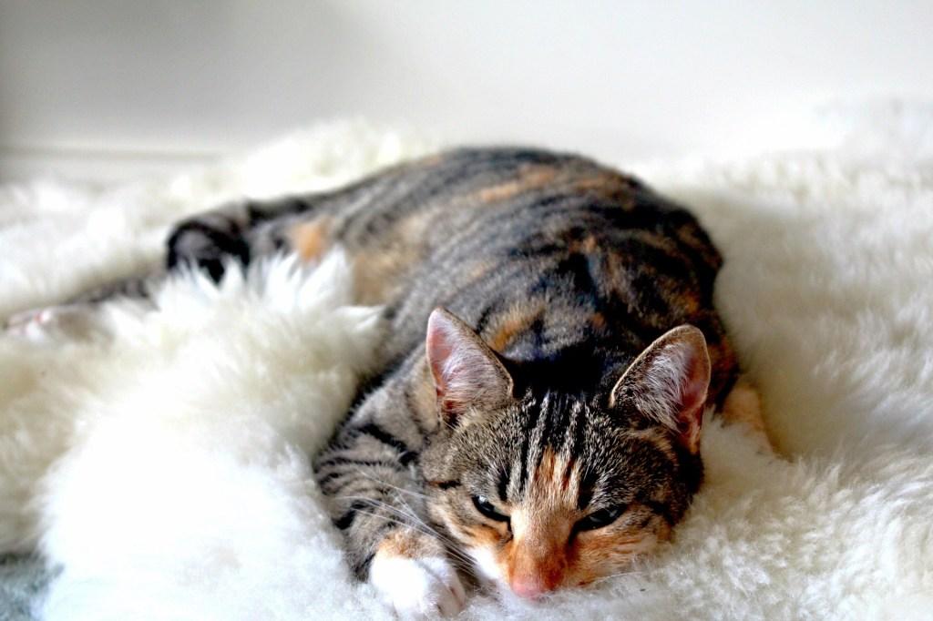 chat couché confortablement